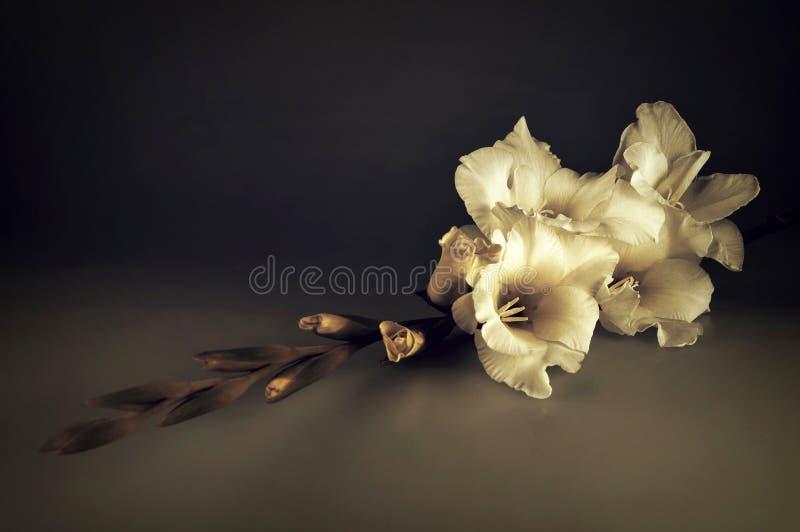Beklagandekort med den vita gladiolusblomman arkivfoto