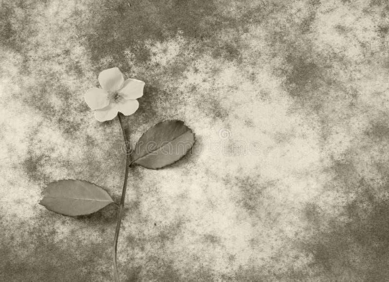 Beklagandekort - vit blomma fotografering för bildbyråer