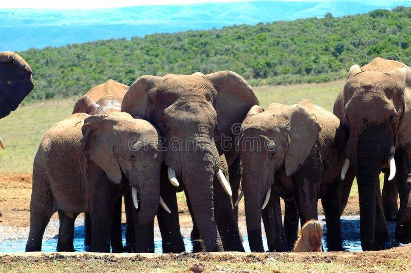 Beklagende Elefantherde stockbilder