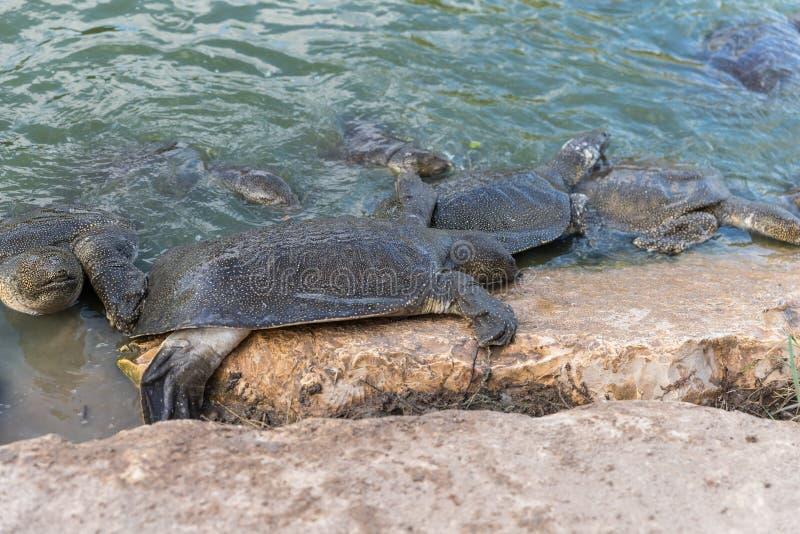 Beklimmen soft-skinned schildpadden van Nijl - Trionyx-triunguis - op het steenstrand op zoek naar voedsel in Alexander River dic stock foto