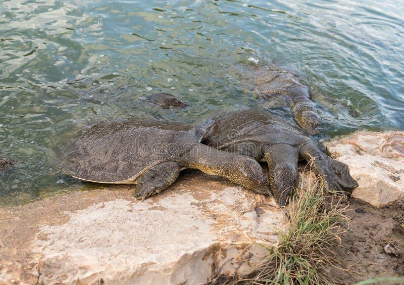 Beklimmen soft-skinned schildpadden van Nijl - Trionyx-triunguis - op het steenstrand op zoek naar voedsel in Alexander River dic royalty-vrije stock foto's