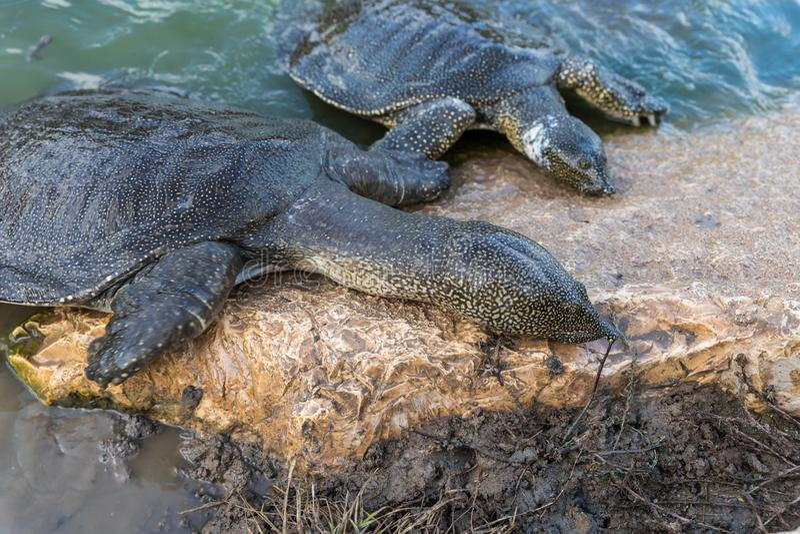 Beklimmen soft-skinned schildpadden van Nijl - Trionyx-triunguis - op het steenstrand op zoek naar voedsel in Alexander River dic royalty-vrije stock foto