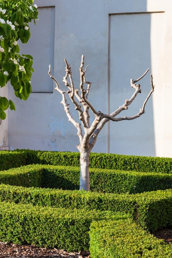 Beknotte vijgeboom in Mantua-stad in de lente stock foto's