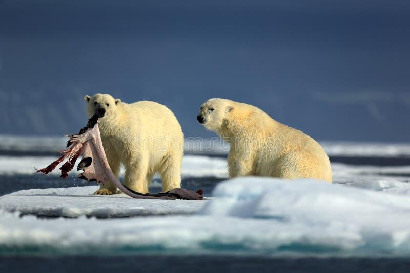 Bekogelen de paar ijsberen met verbinding na het voeden van karkas op afwijkingsijs met sneeuw en blauwe hemel in Noordpoolsvalba stock foto