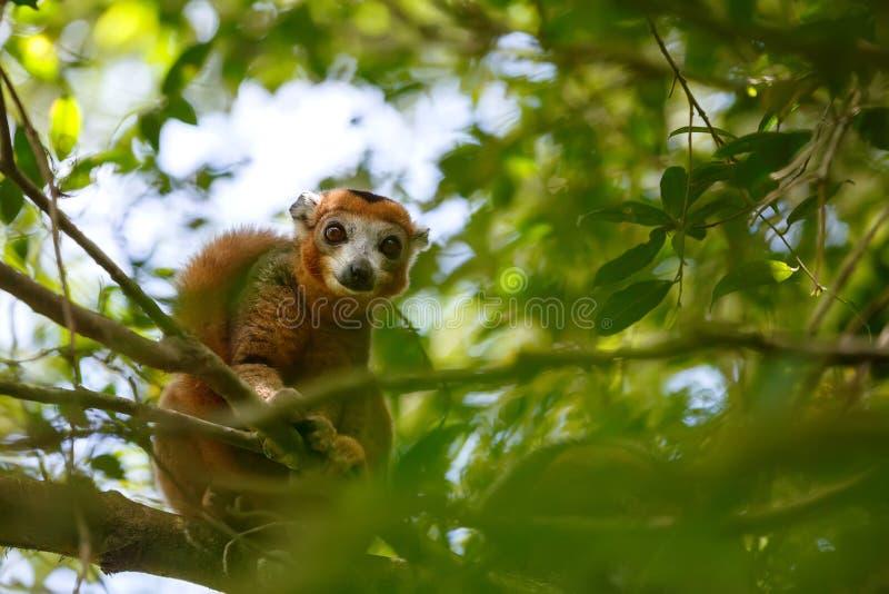 Bekroonde maki Ankarana Nationaal Park, Madagascar royalty-vrije stock afbeeldingen