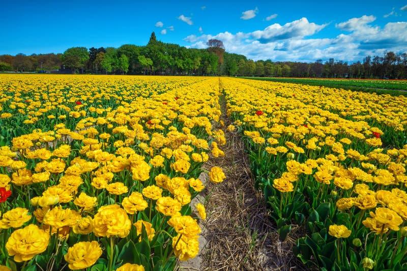 Bekvämt vårlandskap med färsk gul tulpanåda i Nederländerna arkivfoton