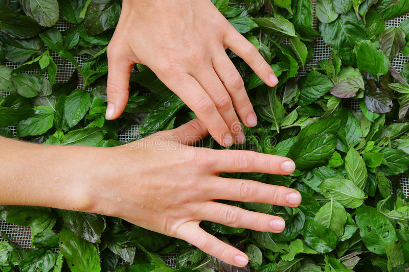 Bekwame vrouwenhanden die verzamelend groene thee ruwe bladeren verzamelen zich stock afbeeldingen