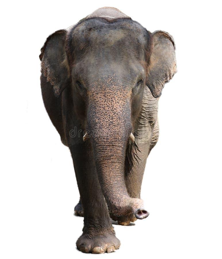 Bel éléphant d'isolement unique à une réservation de conservation d'éléphants dans Bali Indonésie photographie stock