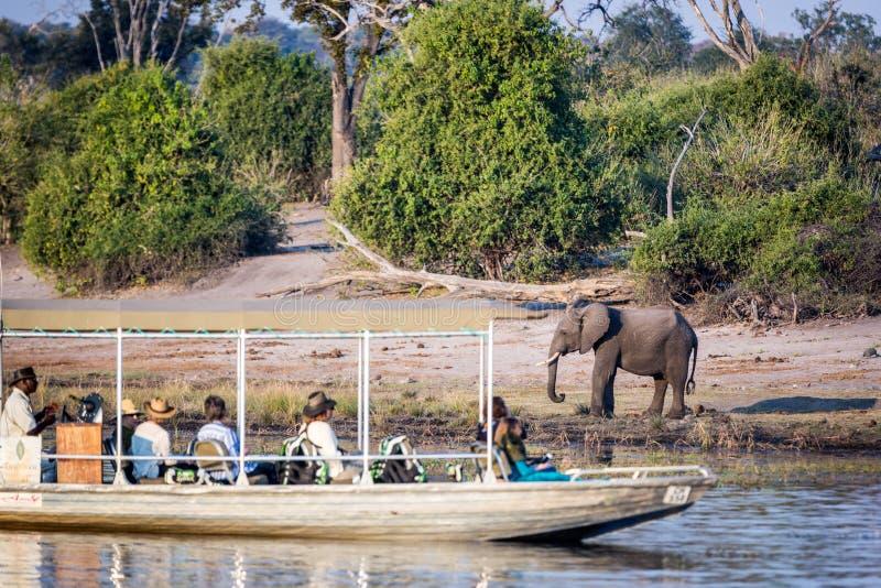 Bel éléphant en parc national de Chobe au Botswana photographie stock libre de droits