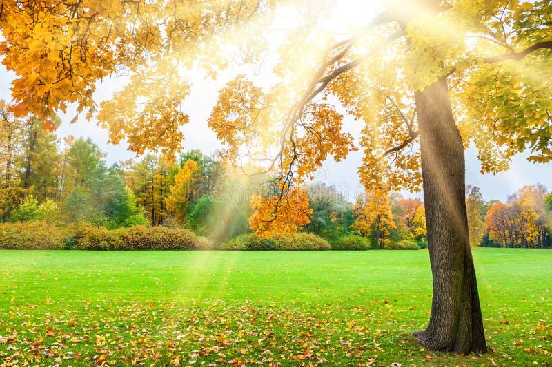 Bel érable jaune en parc avec des rayons de soleil au coucher du soleil photo libre de droits