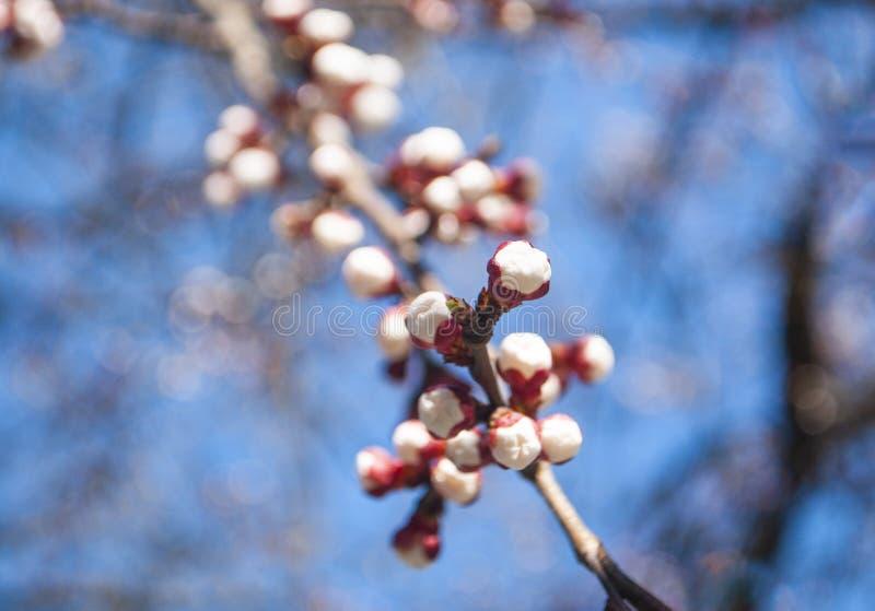Bel abricotier dans la fleur photographie stock libre de droits