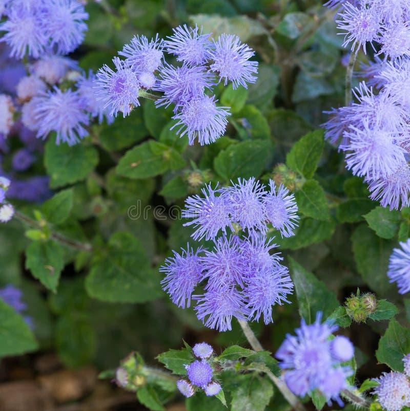 Bel Ageratum violet bleuâtre dans le lit de fleur photographie stock