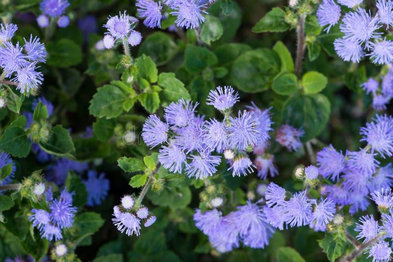 Bel Ageratum violet bleuâtre dans le lit de fleur image stock