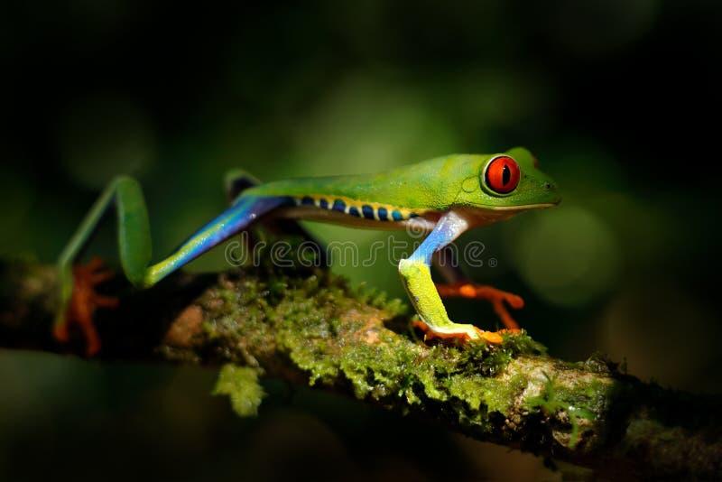 Bel amphibie dans le plan rapproché de détail de forêt de nuit de l'oeil rouge de grenouille, caché en végétation verte Grenouill image libre de droits