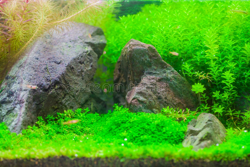 Bel aquarium d 39 eau douce plant tropical avec des poissons for Plante aquarium eau douce
