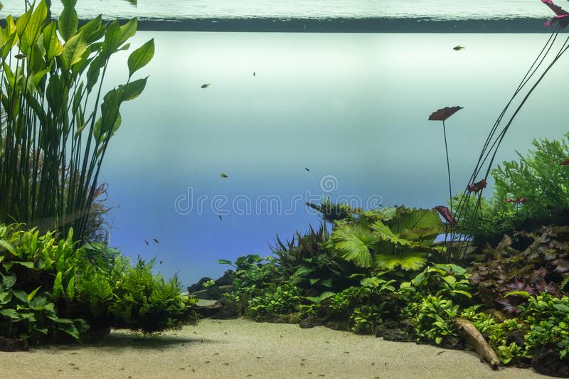 Bel aquarium d'eau douce tropical avec les plantes vertes et le Fis photo stock