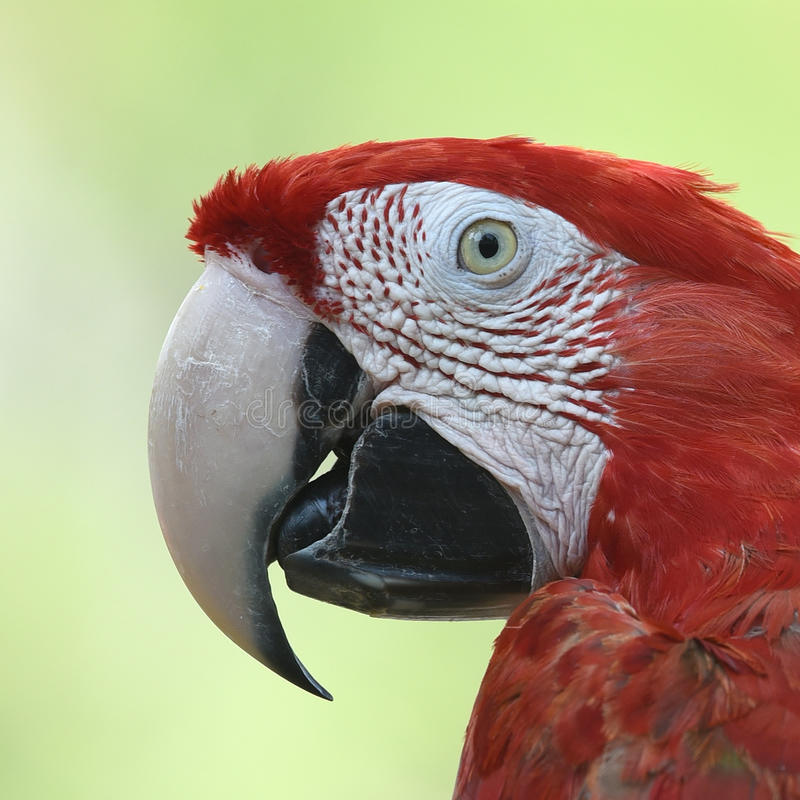 Bel ara d'écarlate d'oiseau images stock
