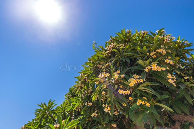 Bel arbre blanc et jaune de Plumeria fleurissant contre un ciel bleu clair vibrant et un soleil fort avec des fusées Été agréable images libres de droits