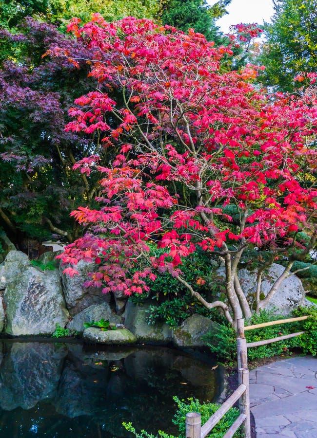 Bel arbre d'érable japonais stupéfiant avec les feuilles rouges dans un paysage de paysage de l'eau avec le fond paisible de sais photo stock