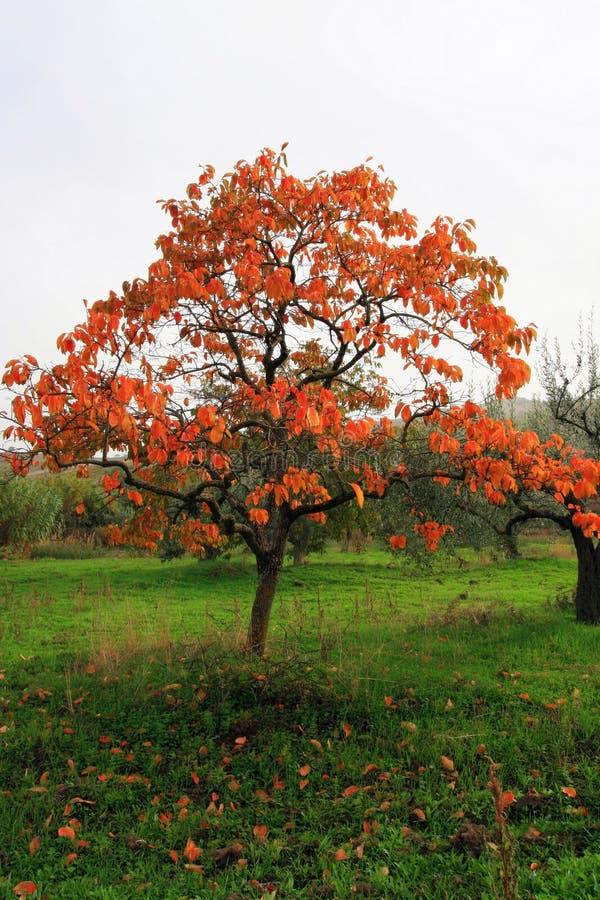 Bel arbre d'automne photos libres de droits