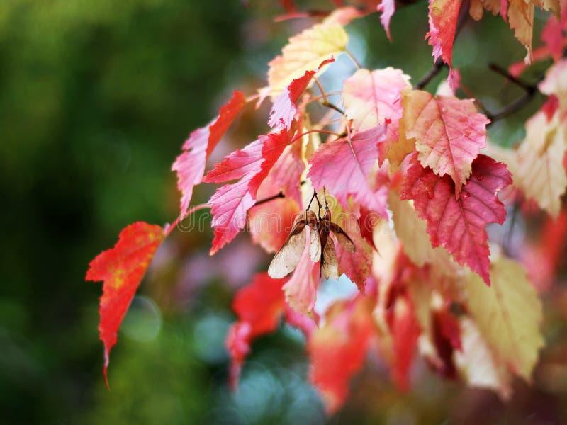 Bel arbre d'automne avec les feuilles lumineuses photo stock
