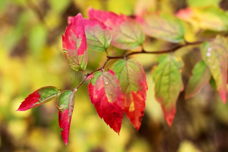 Bel arbre d'automne avec les feuilles lumineuses photos libres de droits