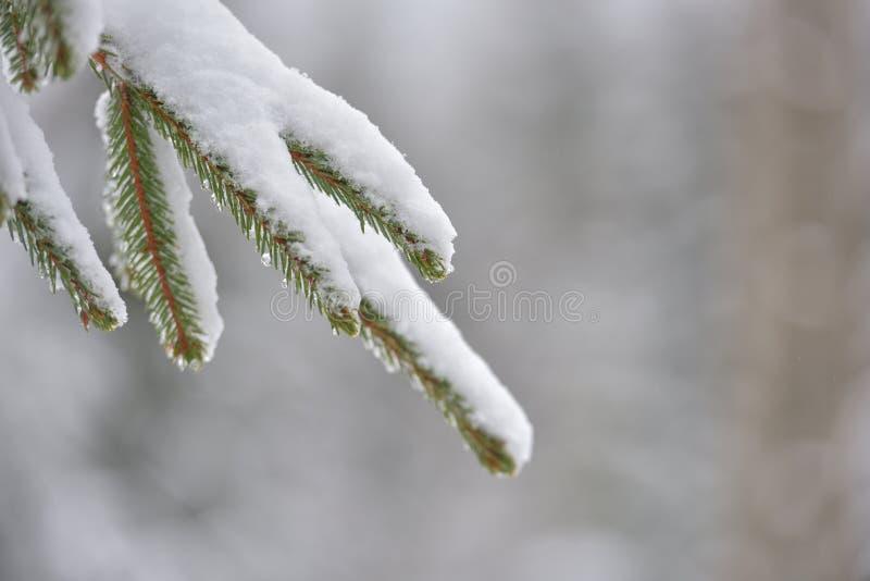 Bel arbre d'hiver Fermez-vous vers le haut des détails sur le brunch d'aiguilles de pin photo libre de droits