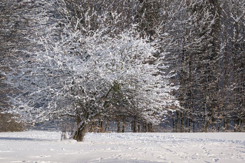 Bel arbre d'hiver sur une pelouse photo stock