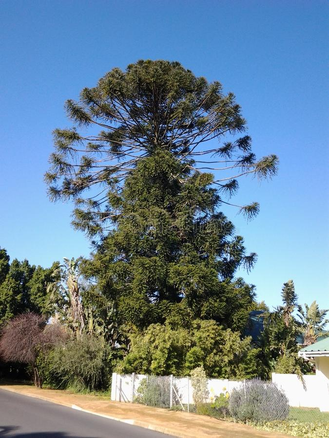 Bel arbre dans le cerf du swartland photos stock
