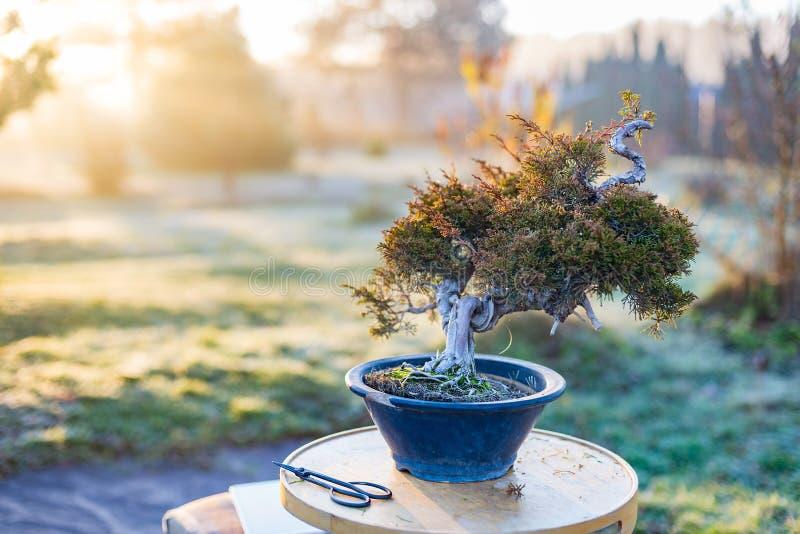 Bel arbre de bonsaïs dans un pot dehors image stock