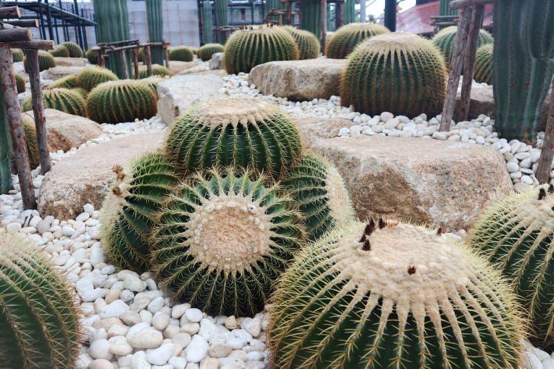 Bel arbre de cactus dans les jardins ext?rieurs et des parcs photographie stock