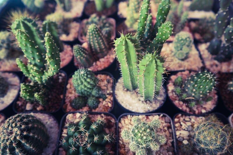 Bel arbre de cactus dans les jardins ext?rieurs et les parcs publics photos stock
