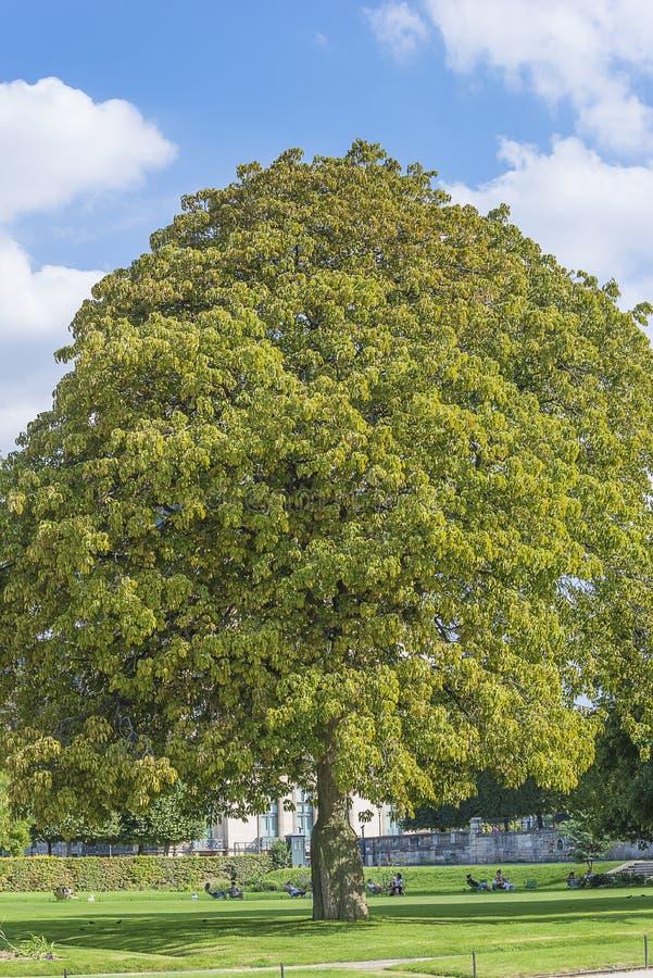 Bel arbre de chesnut en parc d'été photographie stock