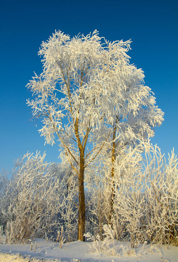 Bel arbre de l'hiver de glace photos stock