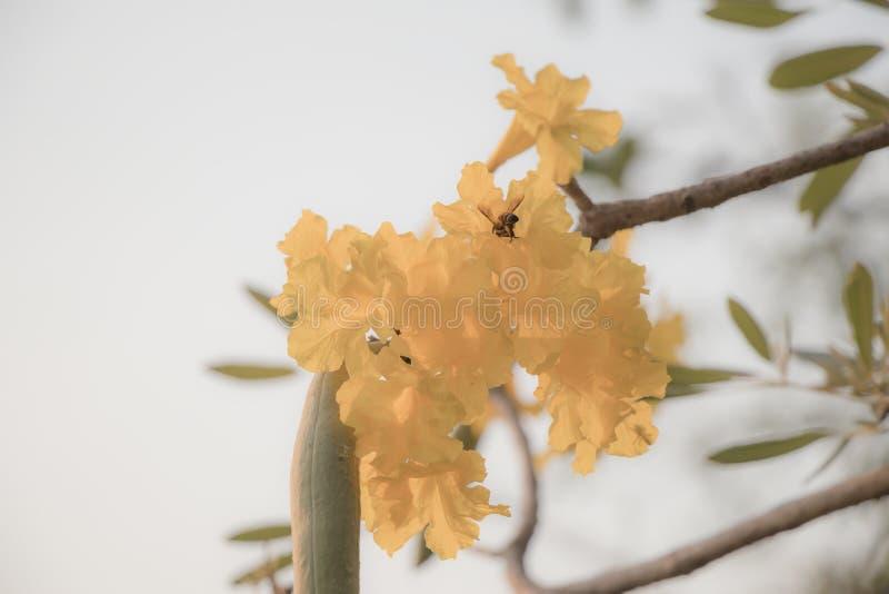 Bel arbre de trompette argenté, arbre d'or, arbre de trompette argenté paraguayen Foyer sélectif une fleur jaune dans le jardin photo stock