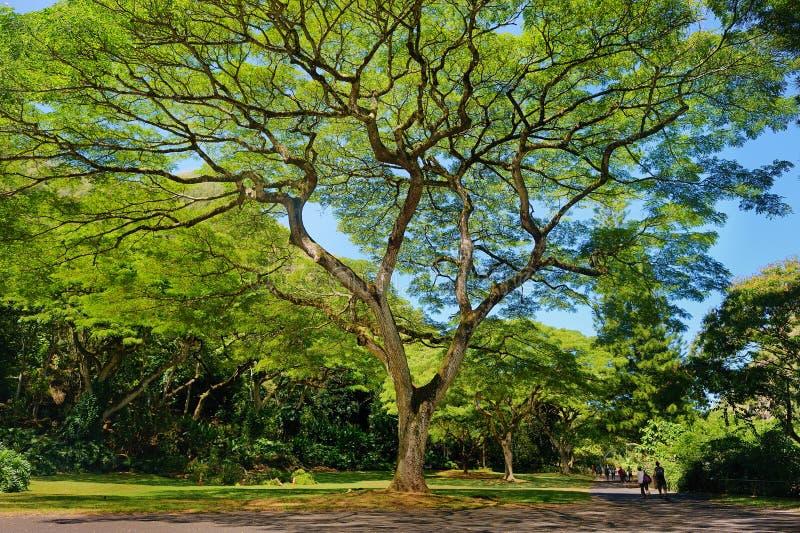 Bel arbre en vallée de Waimea sur l'île d'Oahu photo libre de droits