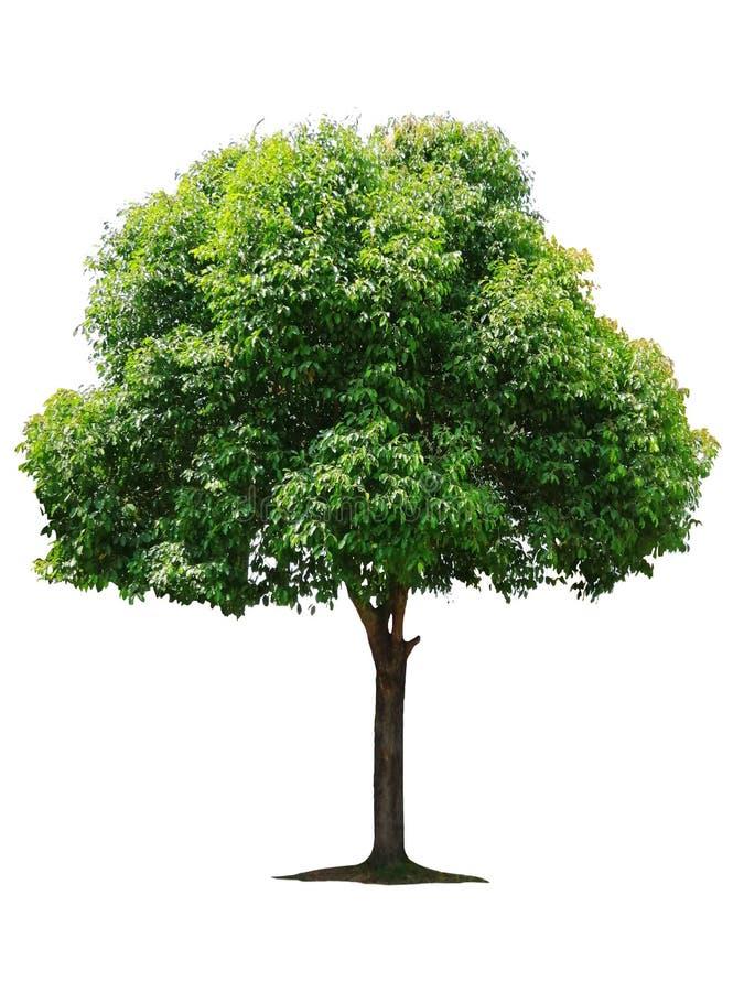 Bel arbre ? feuilles caduques vert frais d'isolement sur le fond blanc pur pour le graphique images libres de droits