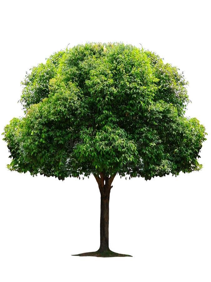 Bel arbre ? feuilles caduques vert frais d'isolement sur le fond blanc pur pour le graphique photo stock