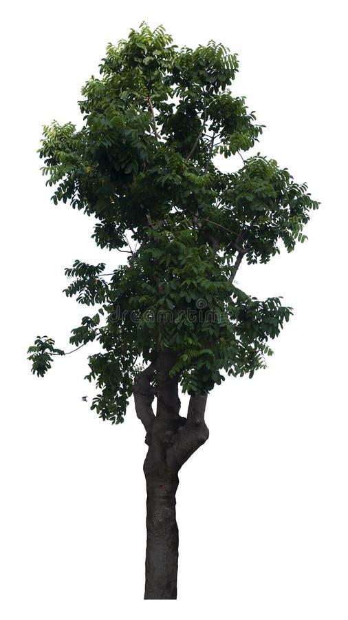 Bel arbre ? feuilles caduques vert frais d'isolement sur le fond blanc pur pour le graphique photographie stock libre de droits
