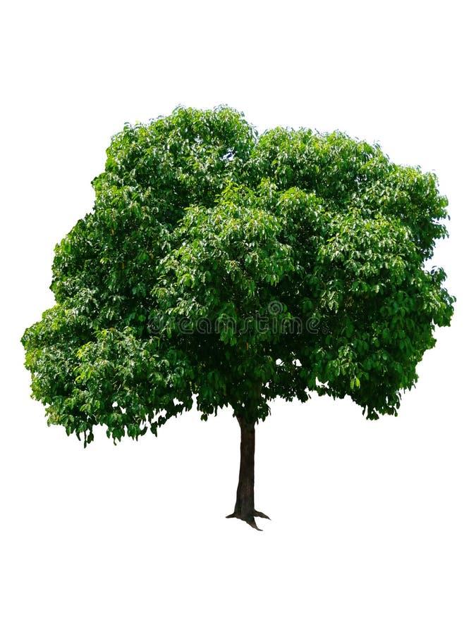 Bel arbre ? feuilles caduques vert frais d'isolement sur le fond blanc pur pour le graphique images stock