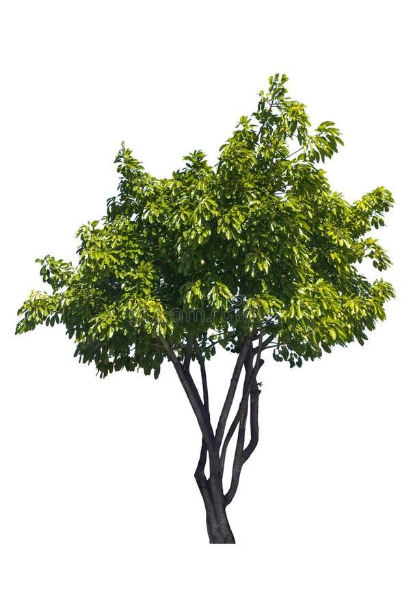 Bel arbre ? feuilles caduques vert frais d'isolement sur le fond blanc pur pour le graphique photo libre de droits