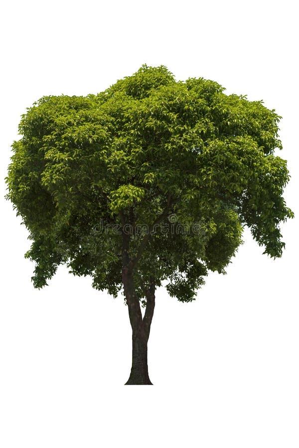 Bel arbre ? feuilles caduques vert frais d'isolement sur le fond blanc pur pour le graphique image stock