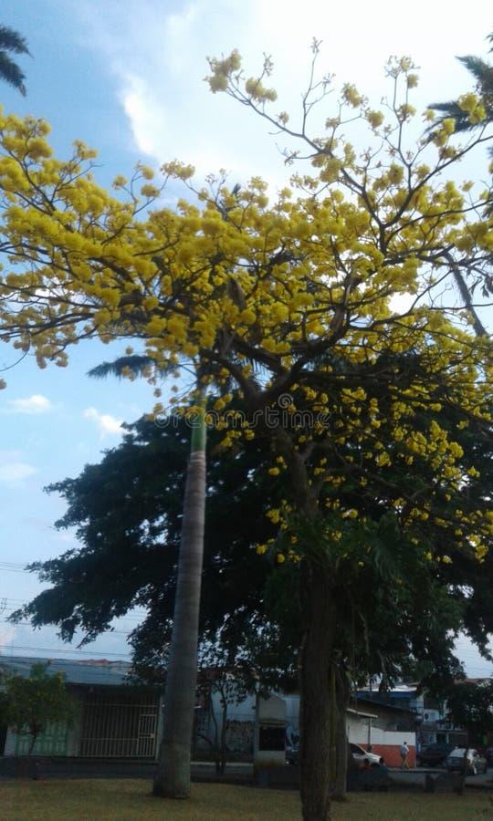 Bel arbre jaune image stock
