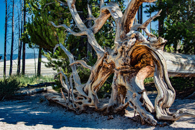 Bel arbre mort frappé plus de images libres de droits