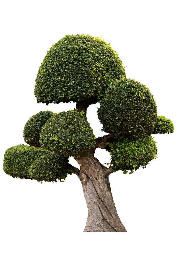 Bel arbre ornemental, arbre topiaire vert, grands bonsaïs, appropriés pour l'usage dans la conception architecturale ou le travai photos stock