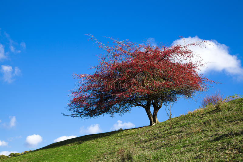 Bel arbre rouge photo stock