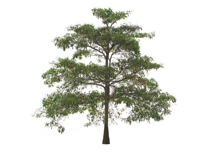 Bel arbre vert, arbre de diable, sur le fond blanc image libre de droits