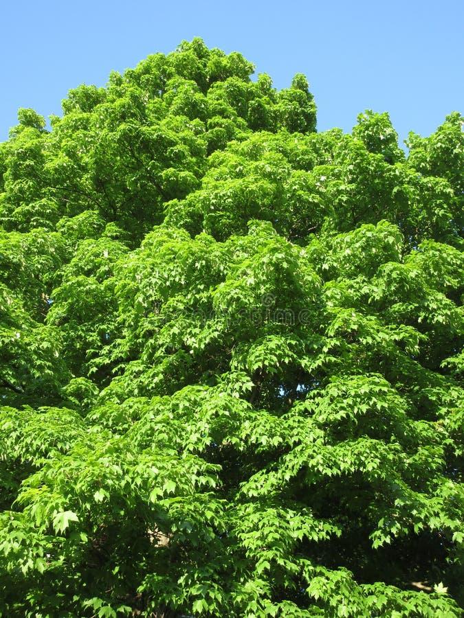 Bel arbre vert en mai image libre de droits