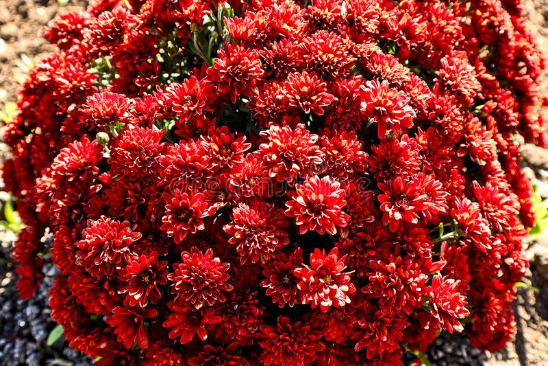 Bel arbuste fleurissant lumineux avec les fleurs rouges, fleurs dans le jardin photo stock