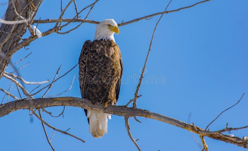 Bel Eagle Perched chauve sur une branche avec un ciel clair images stock